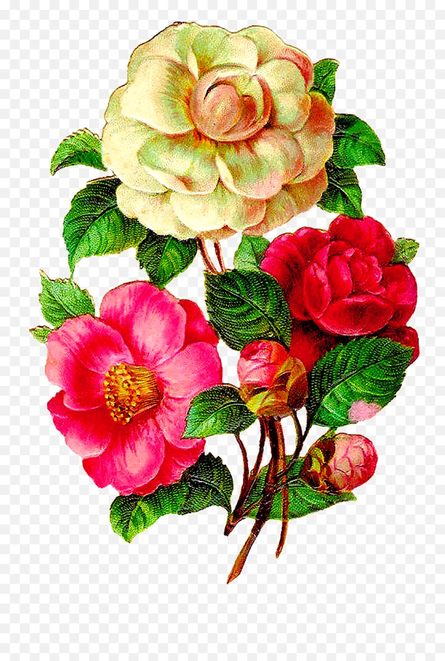 Download Vintage Flower Illustration Png - Camellia Flowers Vintage Flower Png,Vintage Flower Png