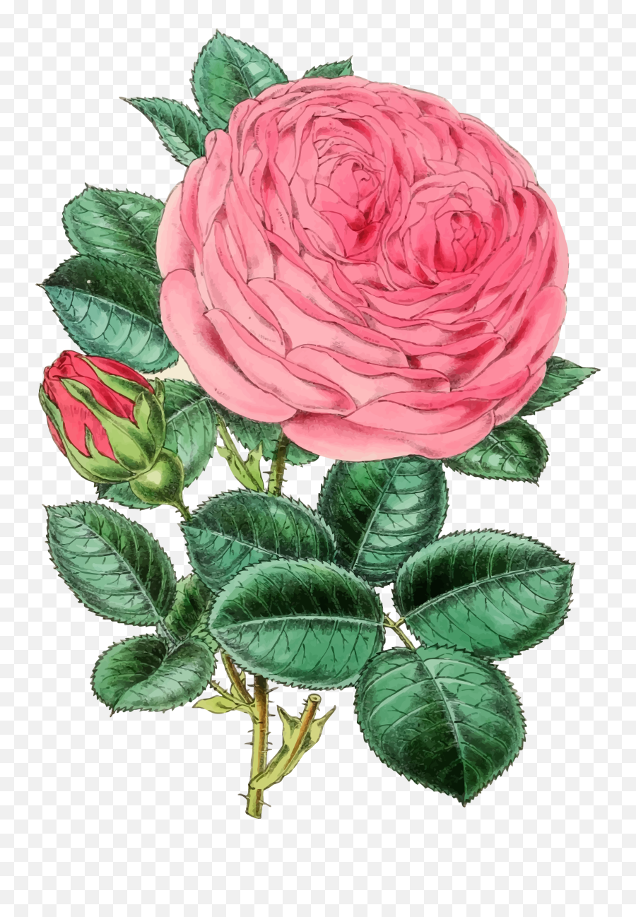 Pinkplantflower Png Clipart - Royalty Free Svg Png Happy Mothers Day Roses,Vintage Flower Png