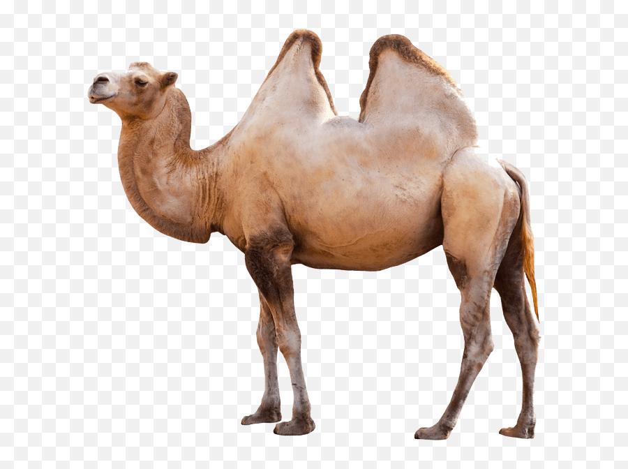 Clipart Cartoon Camel   Free Images at Clker.com - vector clip art online,  royalty free & public domain