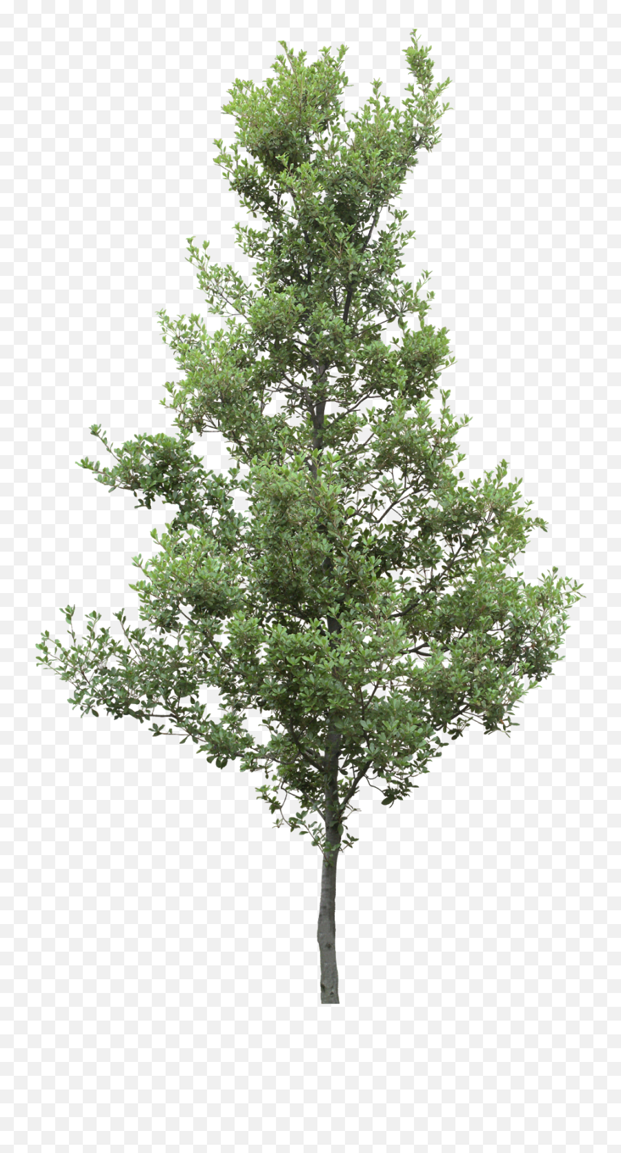 Pine Trees Png Hd Pictures - vhvrs  Lumion Pine Tree