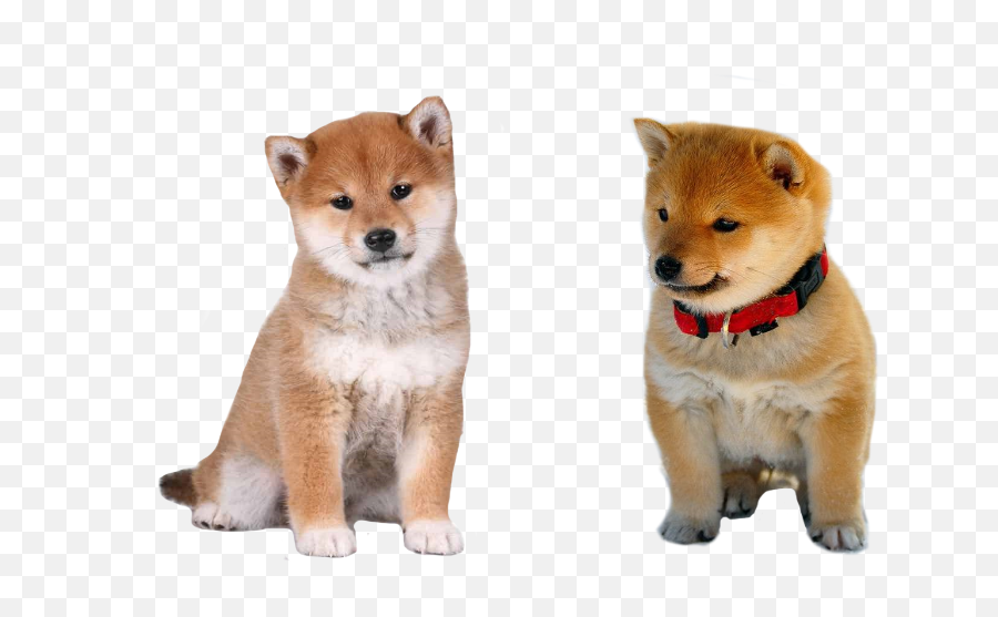 Actual Baby Doge And Cheems Pngs Are - Shiba Inu Puppy,Shiba Inu Png