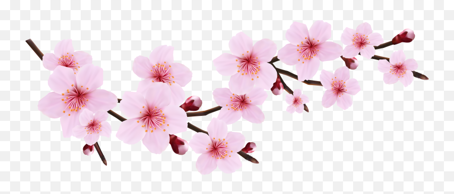 Cherry Blossoms Transparent Png - Cherry Blossom Flower Clipart
