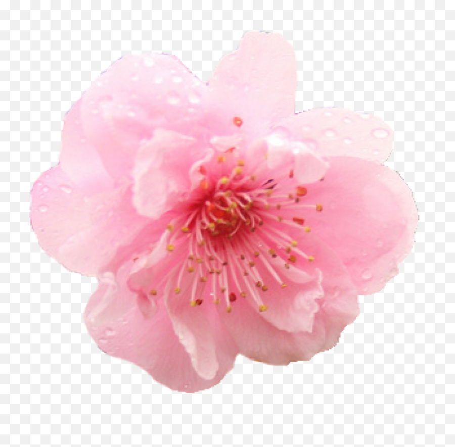Cherry Blossom Flower Png 1 Image - Flower Cherry Blossom Png