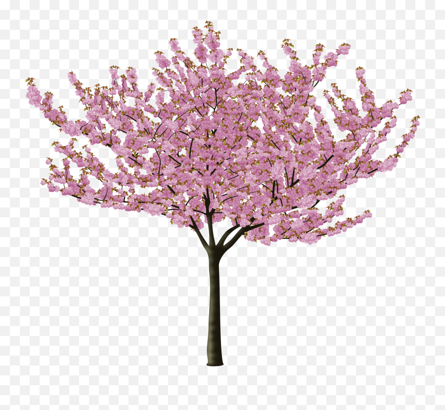 Cherry Blossom Flower Png - Cherry Blossom Tree Png