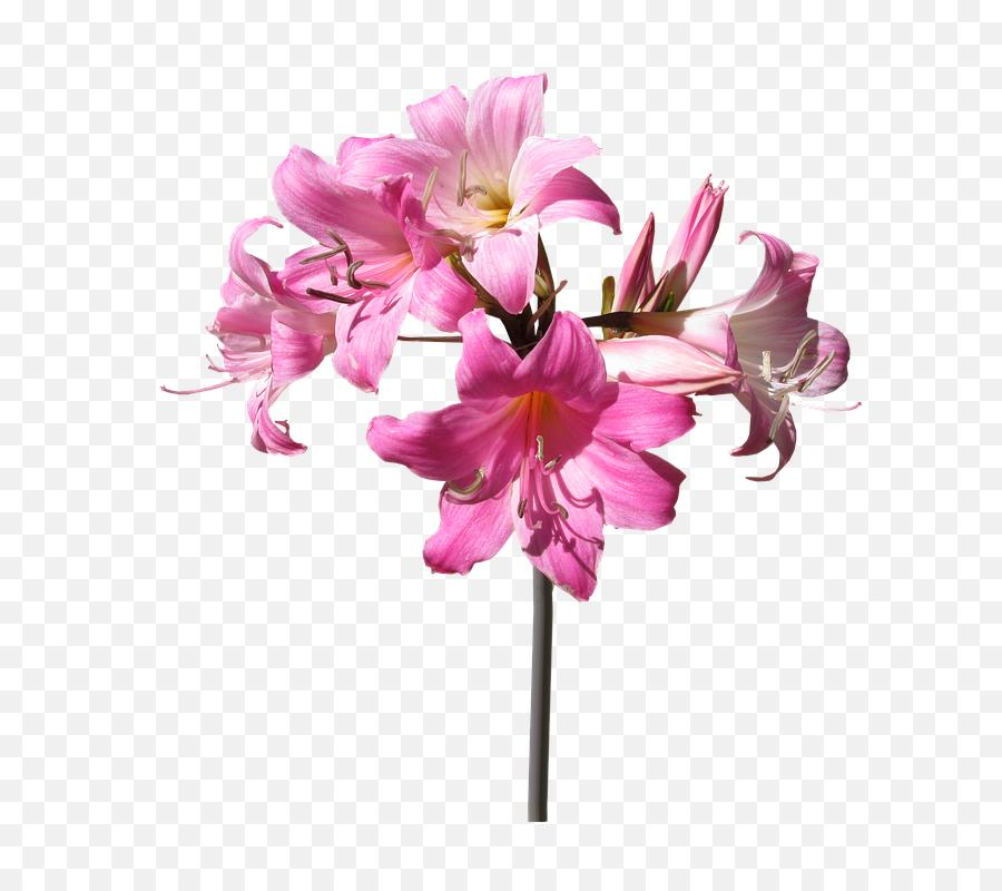 Download Hd Belladonna Lily Flower Stem Summer - Stem  Flower With Stem Png