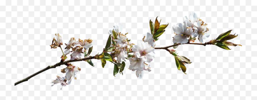 Flower Branch Png Hd Pictures - vhvrs  Flower Branch Png