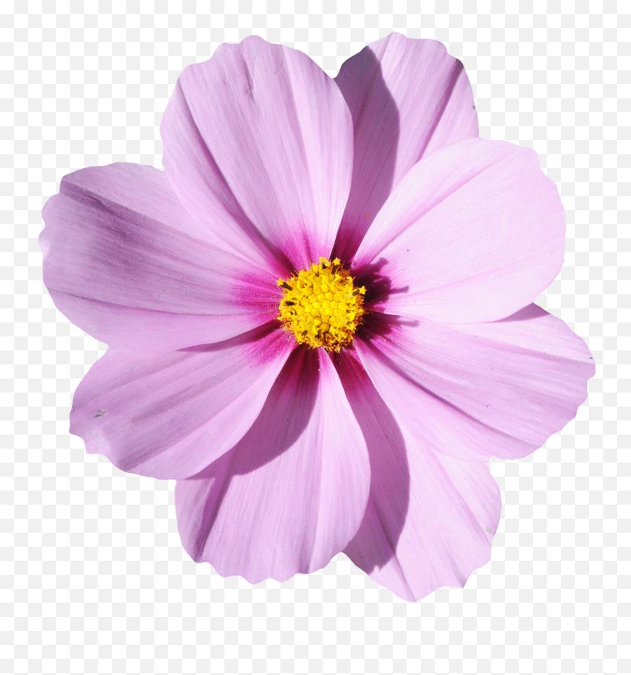 Codepen - CherryBlossom  Transparent Flower Png