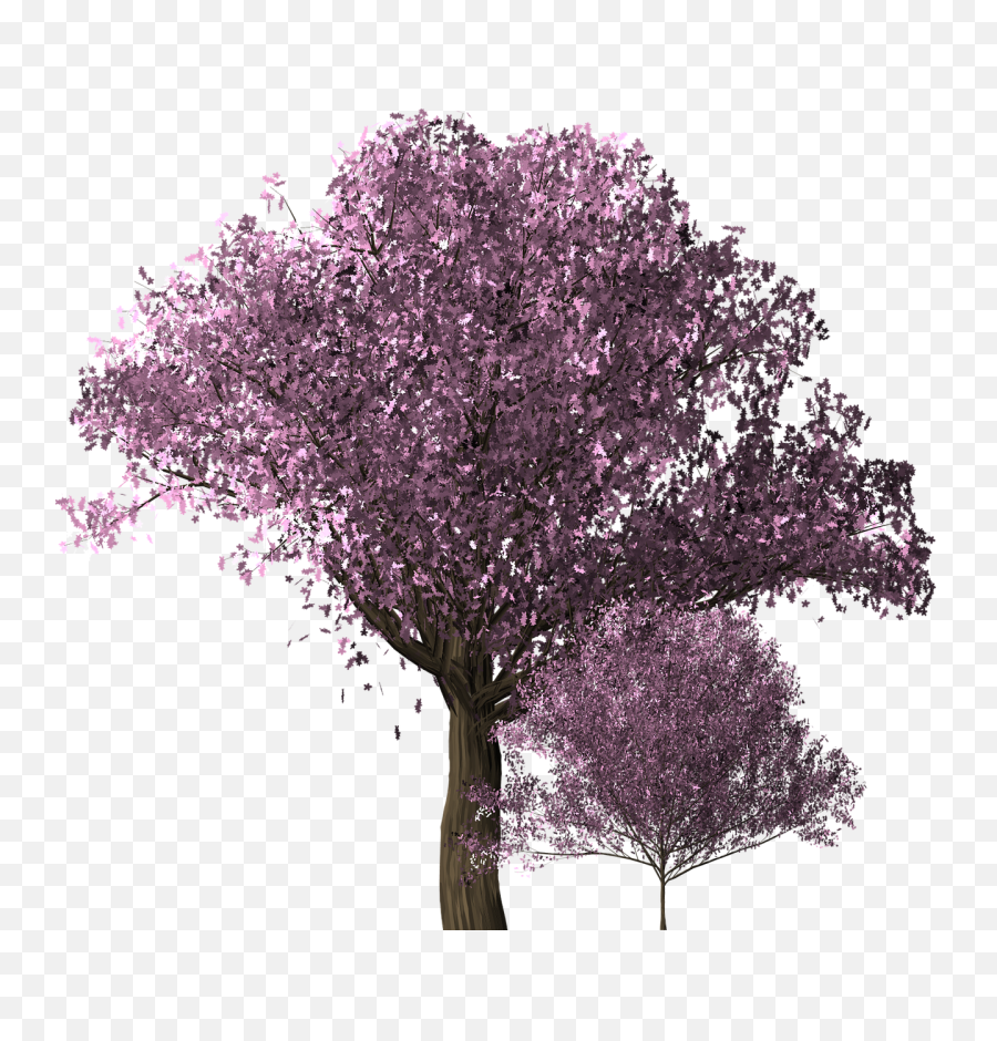 Cherry Blossom Tree - Free image on Pixabay  Transparent Cherry Blossoms Png Tree