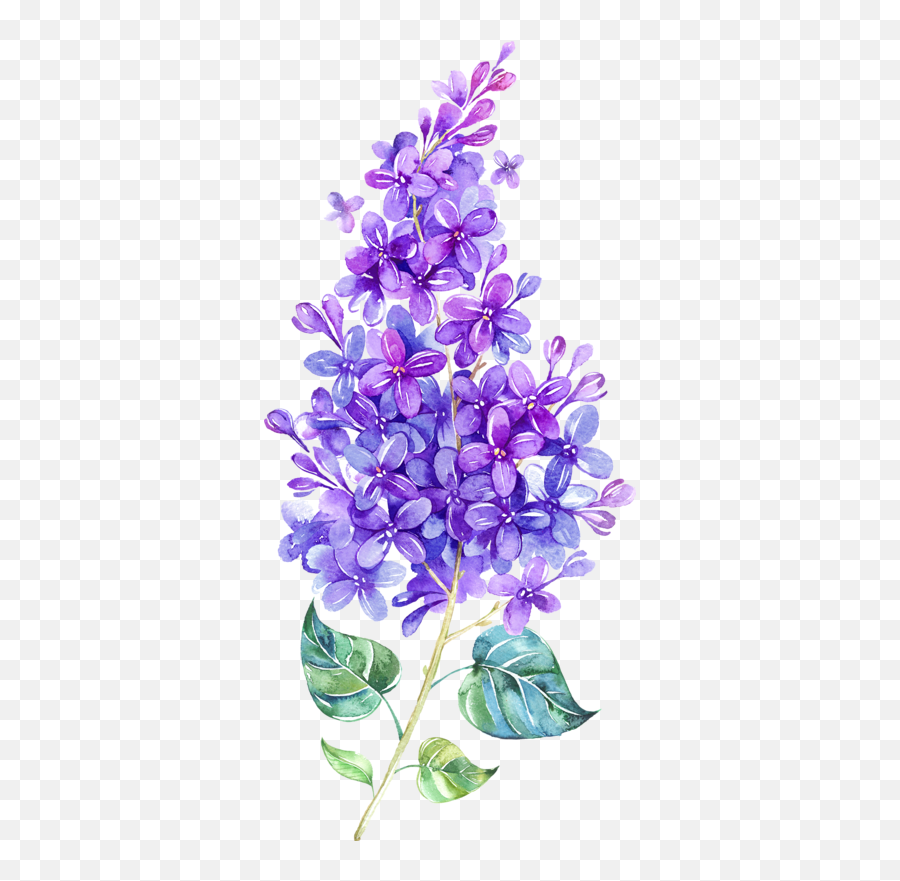 Lilac Flowers Png Images Free Download - Watercolor Lilac Flower