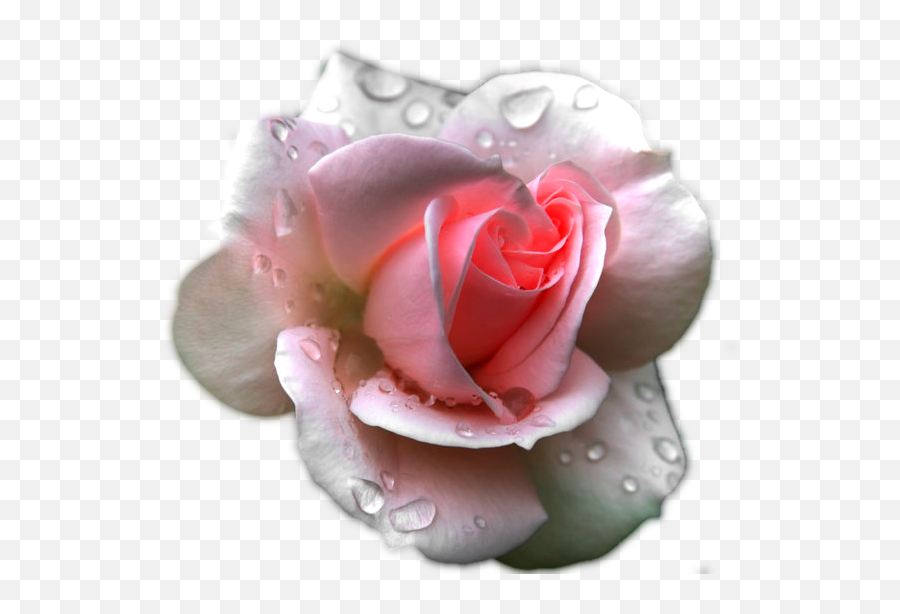 Transparent Clipart Image Pink Rose - Pink Rose After Rain Png,Water Effect Png