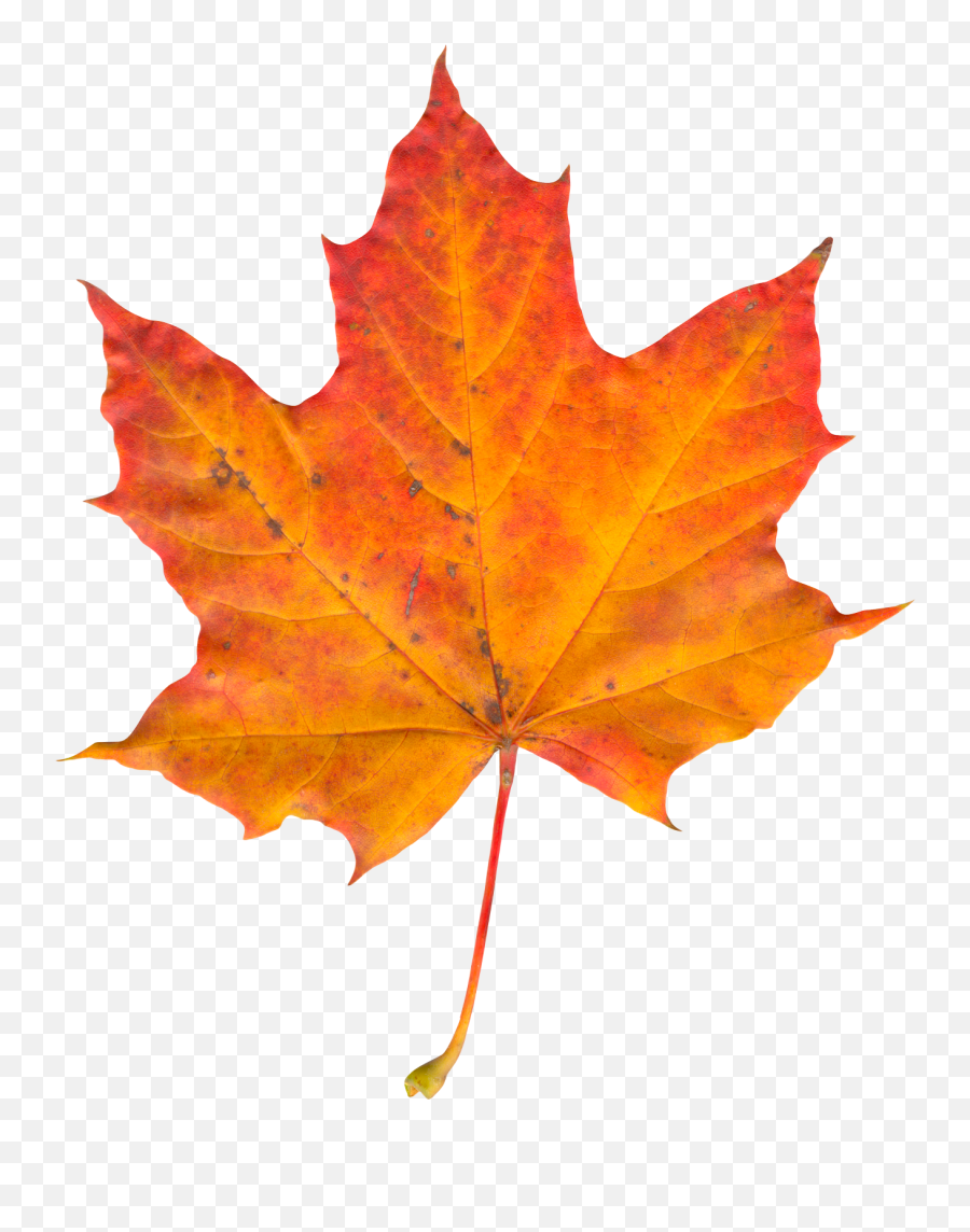 Pin - Autumn Leaf Png,Autumn Leaves Png