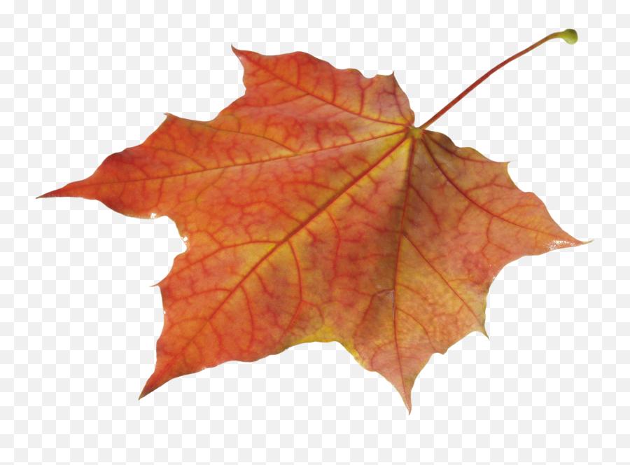 Autumn Leaves Solo Left Transparent Png - Autumn Leave Png,Autumn Leaves Png