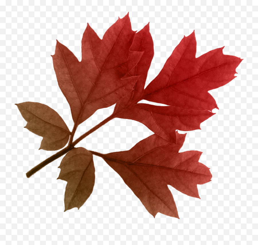 Autumn Leaves Png Clipart - Red Leaves Transparent Background,Autumn Leaves Png