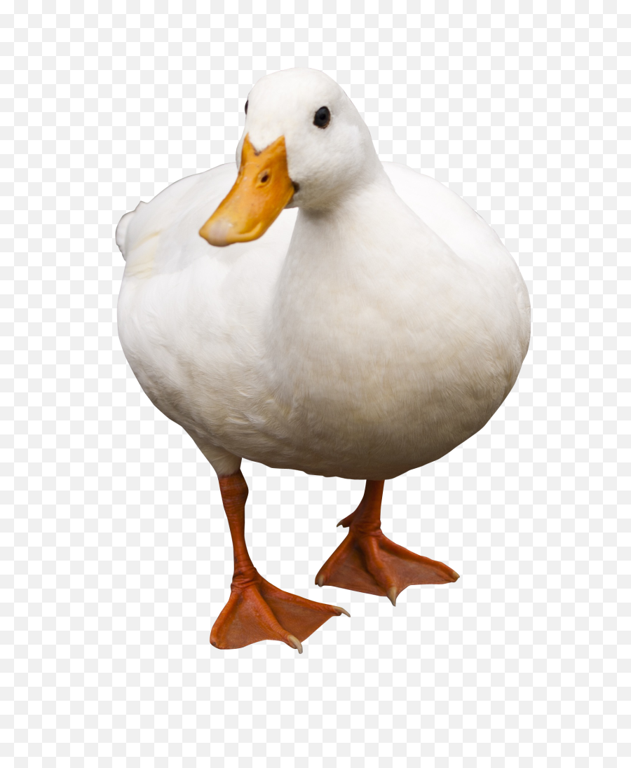 Duck Png Transparent Image - Duck Png