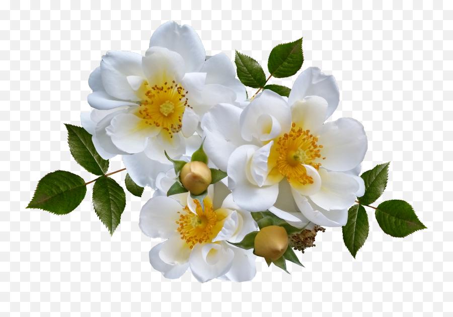 White Rose Png Images Roses Gambar Bunga Putih Png Roses Png Free Transparent Png Images Pngaaa Com